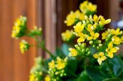 Żółty kalanchoe Obrazy Stock