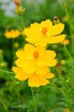 Żółty kosmosu kwiat Fotografia Stock