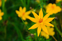 Żółty kosmosu kwiat Fotografia Royalty Free