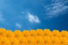 Żółty kosmosu kwiat jako niebieskie niebo obraz royalty free