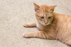 Żółty kot Zdjęcia Stock