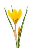 Żółty krokus Fotografia Stock