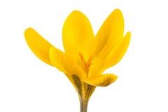 Żółty krokus Zdjęcia Royalty Free