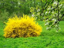 Żółty krzak Zdjęcie Stock
