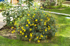 Żółty krzak w zielonym ogródzie Fotografia Stock