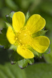 Żółty kwiat na zieleni Zdjęcie Royalty Free
