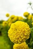 Żółty kwiat, nagietek w ogródzie Zdjęcia Royalty Free