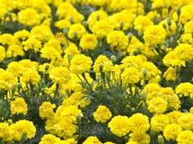 Żółty kwiat, nagietek w ogródzie Zdjęcie Royalty Free
