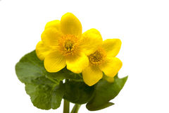 Żółty kwiat od lasu Obrazy Stock