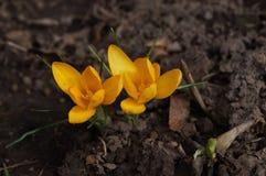 Żółty kwiat w ziemi Obrazy Stock