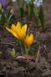 Żółty kwiat w ziemi Zdjęcie Royalty Free