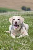 Żółty labrador Zdjęcia Royalty Free