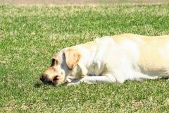 Żółty Labrador Retriever Zdjęcie Royalty Free