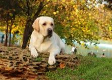 Żółty labrador w jesieni Obraz Royalty Free