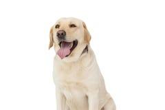 Żółty labradora pies Zdjęcia Stock