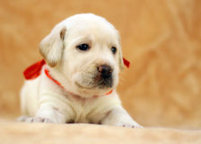 Żółty labradora szczeniak Obrazy Royalty Free