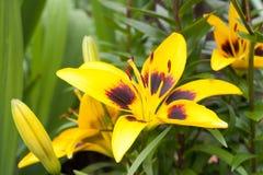 Żółty lilium maculatum Thunb Obrazy Stock