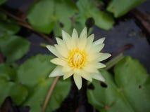 Żółty lotosowy kwiat Fotografia Royalty Free