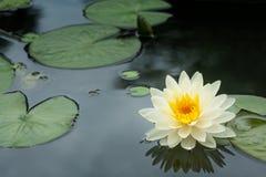 Żółty lotosowy kwiat Zdjęcie Stock