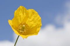 Żółty makowy kwiat Fotografia Stock