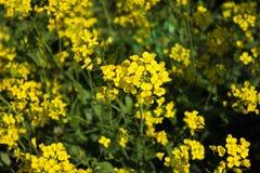 Żółty musztarda kwiatu pole w Srinagar, Jammu, Kashmir, ind Fotografia Stock