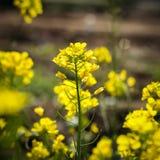 Żółty musztarda kwiatu pole w Srinagar, Jammu, Kashmir, ind Zdjęcia Stock