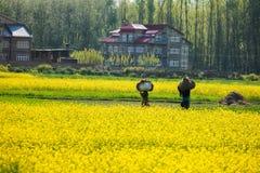Żółty musztarda kwiatu pole w Srinagar, Jammu, Kashmir, ind Fotografia Royalty Free