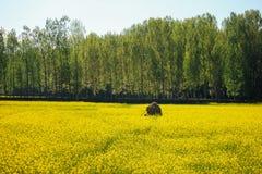 Żółty musztarda kwiatu pole w Srinagar, Jammu, Kashmir, ind Obraz Royalty Free