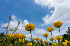 Żółty nagietek w ogródzie Zdjęcia Royalty Free