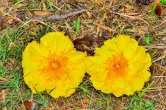 Żółty Nika kwiat Obraz Stock