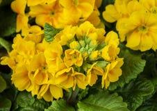 Żółty pierwiosnek obrazy stock
