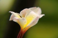 Żółty Plumeria rubra Fotografia Royalty Free