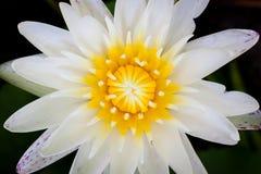 Żółty pollen lotosowy kwiat na czarnym tle obraz royalty free