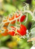 Żółty pomidoru kwiat Obraz Royalty Free
