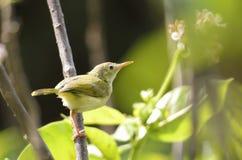 Żółty ptak Zdjęcia Stock