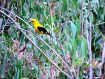 Żółty ptak Fotografia Stock
