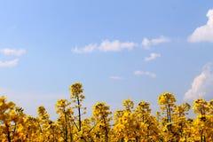 Żółty rapeseed Fotografia Stock