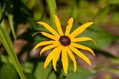 Żółty Rudbeckia Zdjęcia Stock