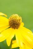 Żółty rumianek Zdjęcia Stock