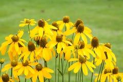 Żółty rumianek Fotografia Stock