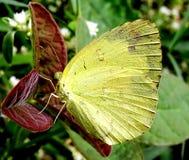 Żółty siarczany motyl Obrazy Royalty Free