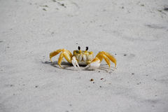 Żółty skrzypacza krab Obrazy Stock