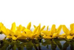 Żółty szczodrzeniec zdjęcia stock