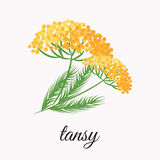 Żółty tansy ilustracja wektor