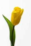 Żółty tulipan Fotografia Royalty Free
