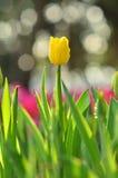 Żółty tulipan Obrazy Royalty Free