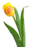 Żółty tulipan Obrazy Stock