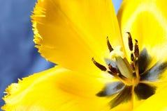 Żółty tulipanowy makro- Fotografia Stock