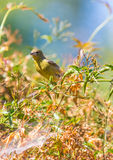 Żółty Warbler (Setophaga petechia) Zdjęcie Stock