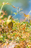 Żółty Warbler (Setophaga petechia) zdjęcie royalty free